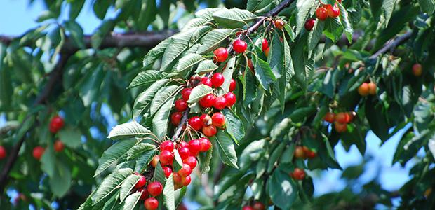 fruktbar